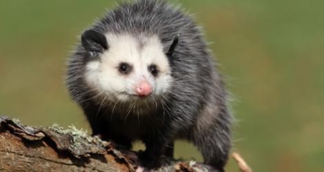 Possum Removal & Control