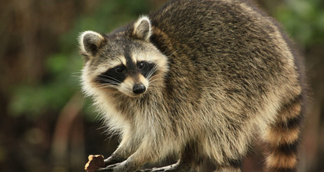 Raccoon Removal & Control Service