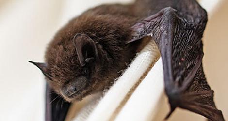 Bat Control & Exclusion